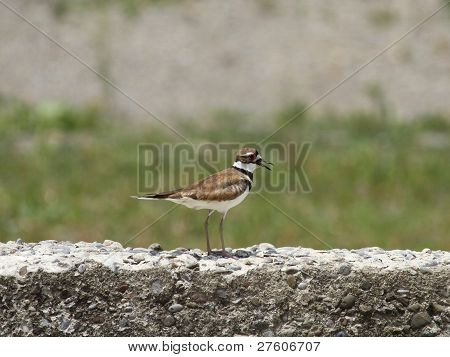 Killdeer on an old concrete wall