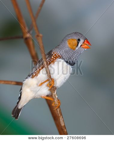 The Singing Zebra-finch