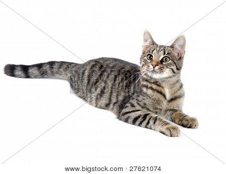 Tabby Cat On White