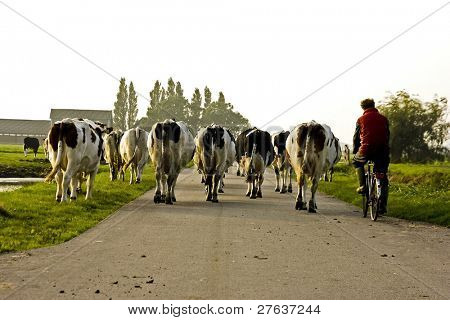 Farmer bringing his cows to the stable at sunset in the countryside of the Netherlands
