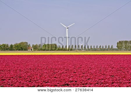 Dutch landscape: tulipfields and windmills in the Netherlands