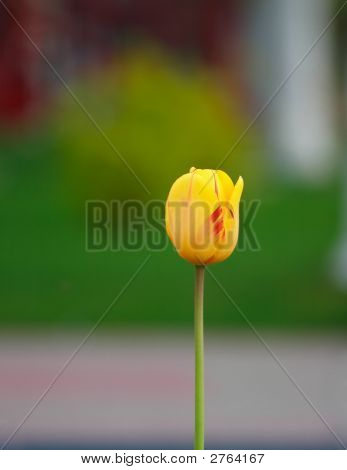 Alone Yellow Tulip