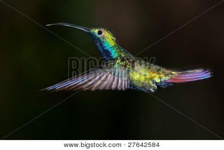 Black-throated Mango Hummingbird, Anthracothorax Nigricollis.
