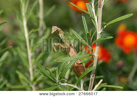 Mantis In The Rosemary