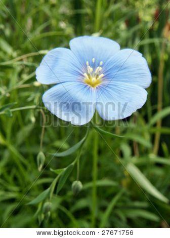 flax flower .