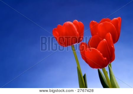 Red Tulips Against Vivid Blue Sky