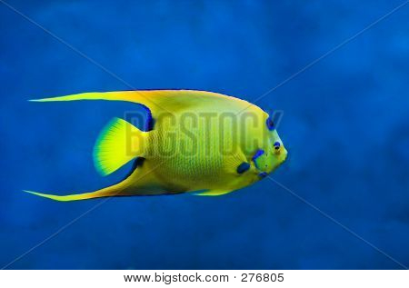 Queen Angelfish (holoacanthus Ciliaris)