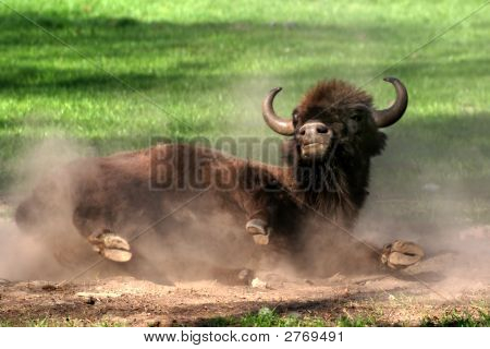 Wallowing Bison