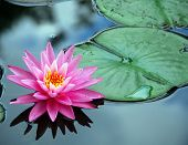 image of water lilies  - A pink water lily rests on still pond water - JPG