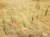 Tall Brown Grass Or Weeds On The Ground With Green Weeds poster