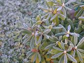 Close-up Of A Rhododendron With Leaves Covered With Ice poster