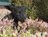 image of suffolk sheep  - black lamb in agmonst the heathers of the garden - JPG
