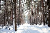 Panoramic Photo Of Snowy Trees With Footpath Along The Forest And Sunrays Shining Between Tree Trunk poster