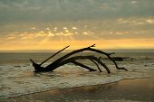 foto of jekyll  - Driftwood remains of a maritime forest on Jekyll Island GA are the results of erosion - JPG