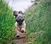 A Small Hairy Dog Running Fast And Playing Through A Grassy Field In The Countryside With Fur Flying poster