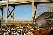 stock photo of armadillo  - An armadillo on the beach at the side of a lake on a winter morning - JPG