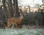 Large White-tailed Deer Buck On The Edge Of The Woods On A Frosty Morning  In Smoky Mountains Nation poster