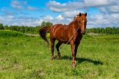 Horse In The Green Pastures Of Horse Farms. Country Summer Landscape. A Brown Horse With A Long Mane poster