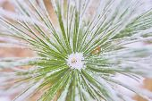 Coniferous Branches Covered With Hoarfrost. Branch Of Spruce Tree With White Snow. Winter Fir Tree I poster