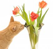 picture of domestic cat  - cat and flowers isolated on a white background - JPG