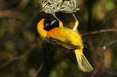 Yellow Bird Landing And Building His Nest poster