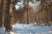 Winter In Pine Forest Trees With White Snow Walkway. Outdoor Woods Nature Landscape At Cold Sunny Da poster