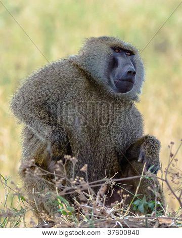 Itch - Baboon, Tanzania