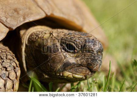 Tortoise's Head