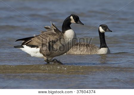 Canada Geese At The Beach