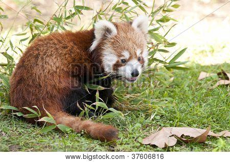 Red Panda In Autumn