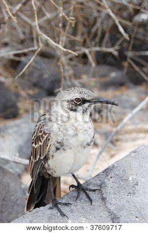 Mockingbird in the Galapagos Islands