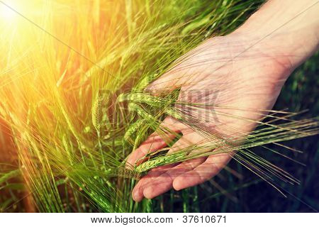 Hand And Ripe Wheat Ears In Warm Sunlight