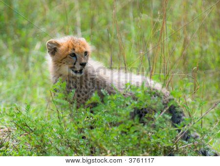 Cheetah\'S Cub