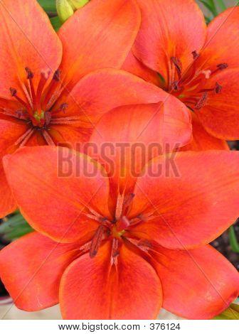 Crimson Pixie Lily