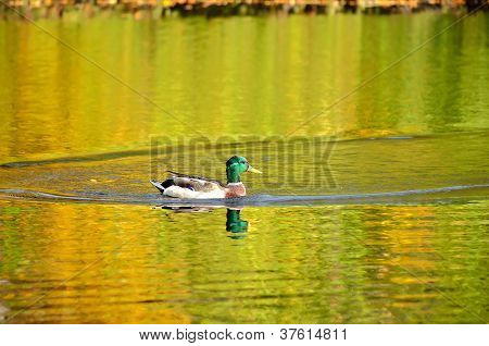 The Mallard Duck On The Pond