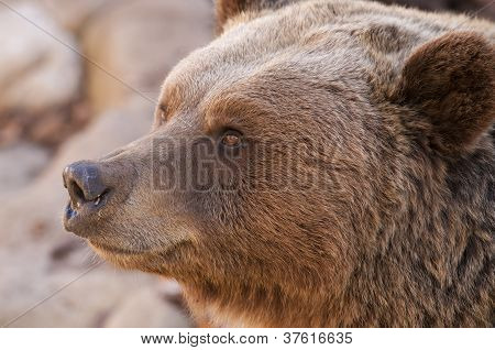 Brown Bear Portrair