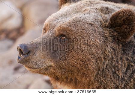 Brown Bear Portrair