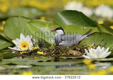A whiskered tern laying on eggs among water lilly