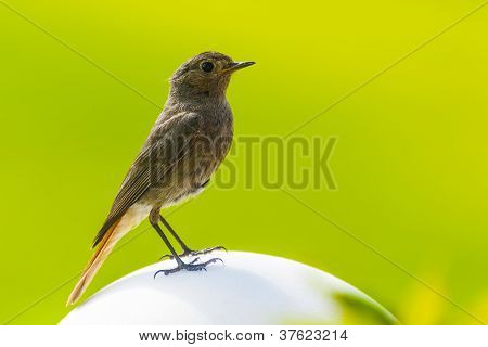 Redstart Is Sitting