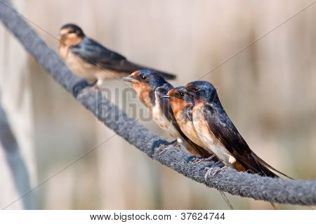 Line-up of Barn Swallows