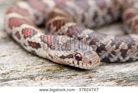 Baby Milk Snake