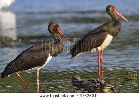 black stork forming diagonal