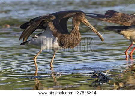 juvenile black stork escaping with prey