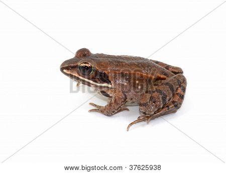 Isolated Wood Frog