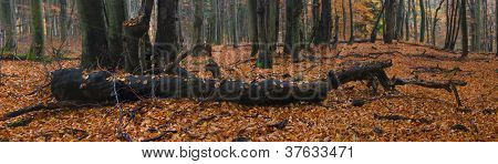 panorama of fallen tree in autumn forest