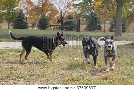 Three Blue Heelers Playing