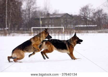German Shepherd dogs playing