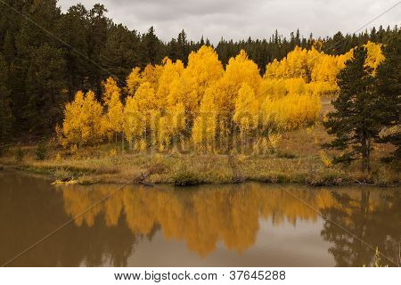 Aspen Tree Reflection