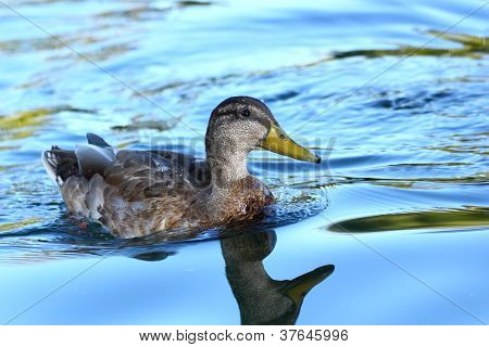 Mallard Duck On Blue Water