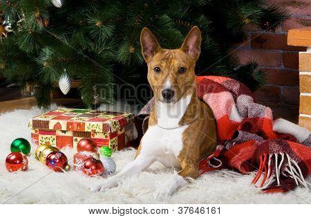 Cão tigrado basenji